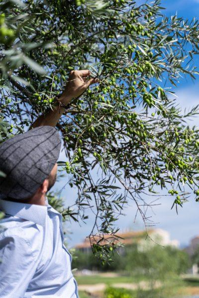 burhaniyeden zeytinyağı üretimi